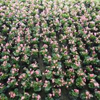 四季海棠批发价格   四季海棠种植基地   四季海棠工程苗
