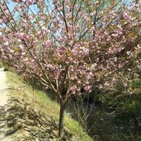 江苏供应,樱花、云南黄馨、三叶地锦、五叶地锦、蔷薇