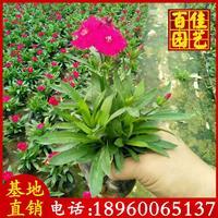 时花、凤仙、香彩雀、时竹、孔雀草价格