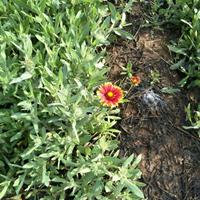 盆栽天人菊价格--三江杯装天人菊质量杠杠的
