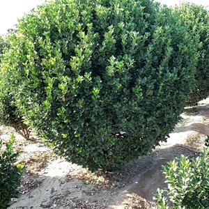 *大叶黄杨球基地 低价供应各种规格大叶黄杨球 基地直销