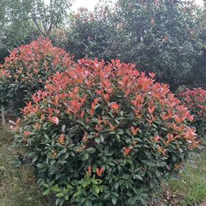 *红叶石楠球基地 低价供应各种规格红叶石楠球 基地直销