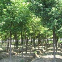 云杉、枇杷、白腊、黄连木、泡桐、含笑、喜树、杜英、落羽杉