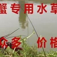 池塘养虾蟹鱼水草种子水花生水葫芦轮叶黑藻伊乐藻苦草菹水草种子