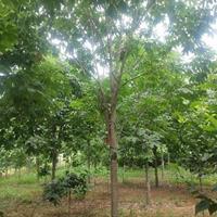 河南七叶树2-30公分,七叶树小苗,种子