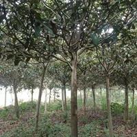 精品枇杷树 湖南枇杷树专业培育基地枇杷树价格便宜批发