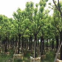 香樟树苗 香樟报价 大量供应香樟树 大香樟树产地 多杆香樟