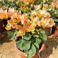 批发加州黄三角梅 袋苗移植苗 今年新价格 加州黄三角梅报价
