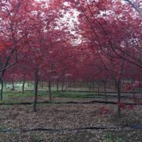 日本红枫基地 日本红枫低价直销 日本红枫供应