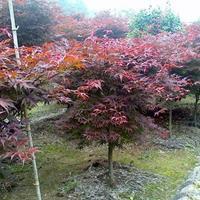 红枫价格_红枫图片_红枫产地_红枫绿化苗木苗圃基地