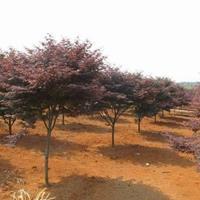 江苏红枫价格 中国红枫基地 大小规格红枫 红枫供应