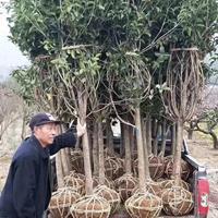 江苏桂花树行情/桂花树产地/桂花树介绍及时新价格