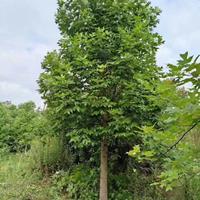 江苏马褂木,鹅掌楸