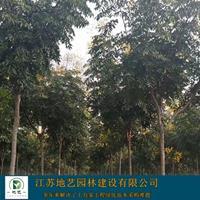 大量出售黄山栾树、黄山栾树批发、黄山栾树价格,图片