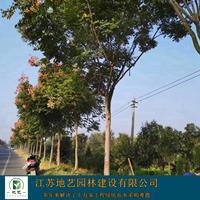 栾树价格低廉大量出售、栾树图片、栾树价格