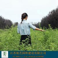 藤本蔷薇、藤本蔷薇种植基地、藤本蔷薇图片、价格