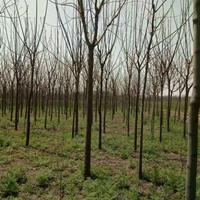 苦楝价格_苦楝图片_苦楝绿化苗木苗圃基地
