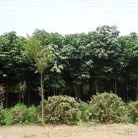 七叶树价格_七叶树图片_七叶树产地_七叶树绿化苗木苗圃基地