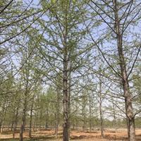 银杏树图片-银杏树价格-绿化苗圃苗木树批发银杏树