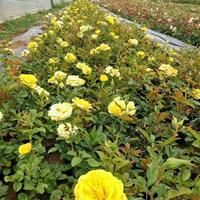 黄帽月季价格_黄帽月季产地_黄帽月季绿化苗木苗圃基地
