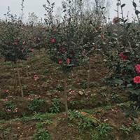 茶梅价格_茶梅图片_茶梅产地_茶梅球绿化苗木苗圃基地