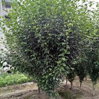 供应丛生及单杆木槿 以及小苗 篱笆苗