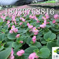 四季海棠 花坛 花境植物