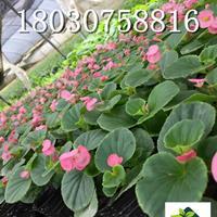 四季海棠 花坛 花境植物  成都基地销售