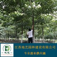 地艺苗圃大量供应重阳木 重阳木基地 江苏重阳木价格
