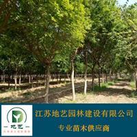 地艺苗圃大量供应五角枫 江苏五角枫基地 五角枫价格