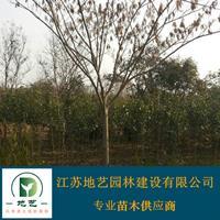 供应合欢产地 江苏地艺w88网站手机版苗圃基地 江苏合欢价格