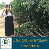 木槿 江苏木槿价格产地 江苏地艺w88网站手机版苗圃基地