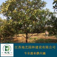 供应枇杷树产地 江苏地艺w88网站手机版苗圃基地 江苏枇杷树价格