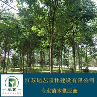 基地直销七叶树  七叶树照片 江苏七叶树产地 七叶树价格
