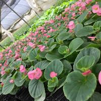四季海棠 花坛 花境植物  价廉物美