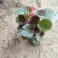 四季海棠生产基地-四季海棠价格