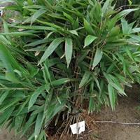 【箬竹】箬竹价格表 箬竹图片 供应 箬竹低价批发