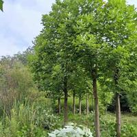 精品马褂木(鹅掌楸)1~30公分