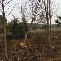江苏马褂木、沭阳鹅掌楸基地 马褂木价格,批发低价苗木基地