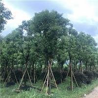 全冠香樟容器苗米径10公分精品苗木哪里有卖