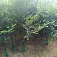 供应大量5公分以下5万根南方红豆杉
