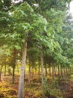 低价供应北美枫香3一22公分枫香基地,枫香价格,枫香图片