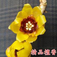 鄢陵蜡梅精品檀香品种黄梅花盆栽盆景阳台庭院地栽浓香品种腊梅