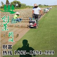 马尼拉草坪  草坪基地直销 优质马尼拉批发低价