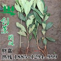 沭阳常年优质枇杷树 基地销售 2公分-10公分规格*