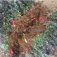 红叶小波、红王子锦带、红叶石楠、红花继木、八角金盘报价