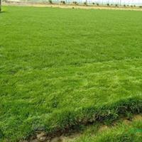 高羊茅/黑麦草、高羊茅、早熟禾、剪股颖、中华结缕草、马尼拉