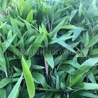 沭阳绿园景w88网站手机版供应/箬竹、大叶箬竹/图片/基地直销价格新报价
