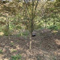 鸡爪槭基地 小叶鸡爪槭 高杆鸡爪槭 鸡爪槭小苗 价格图片