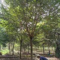 湖州供应12-18公分榉树 优质货源